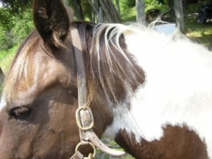 horse_mane_tag7