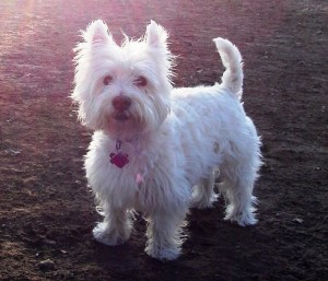 westie dog with rabies tag