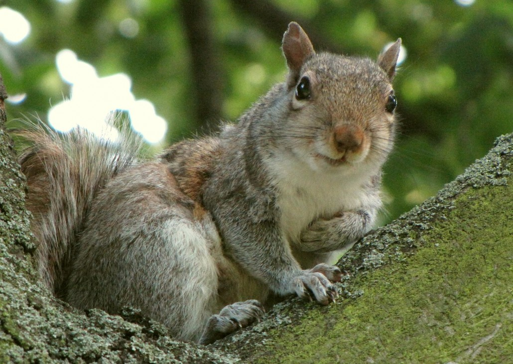 gray squirrel in tree